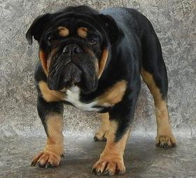 Our Black Swamp Bulldogs, Ohio Rare Bulldog Breeder, Black ...