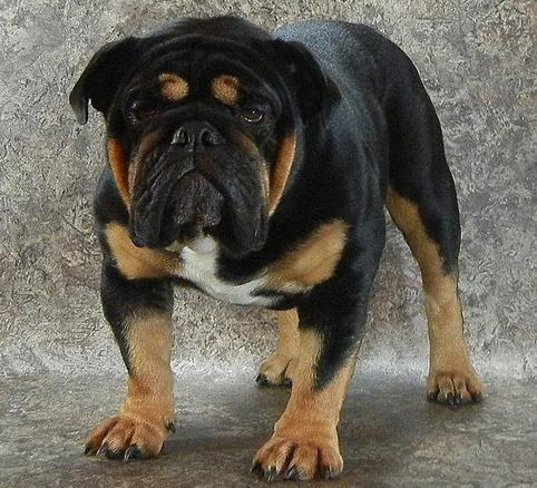 Black Swamp Bulldog Stud Service: Ohio Rare Bulldog ...